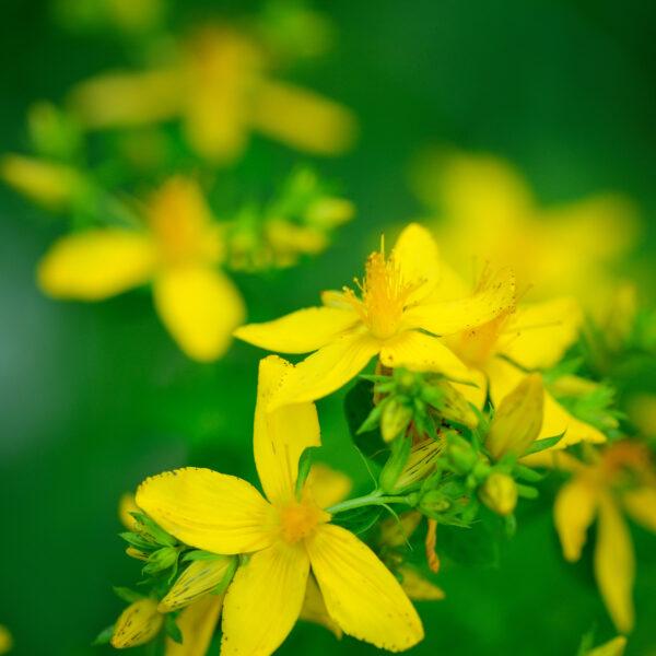 kantarionovo-ulje-hypericum-perforatum-or-st-johns-herbaoils -herba beograd